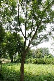 Indiantrees-3