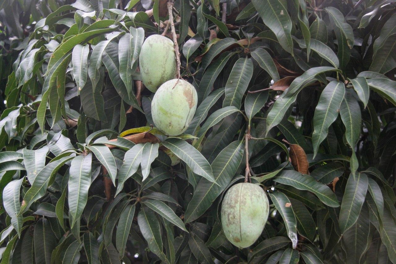 Indiantrees