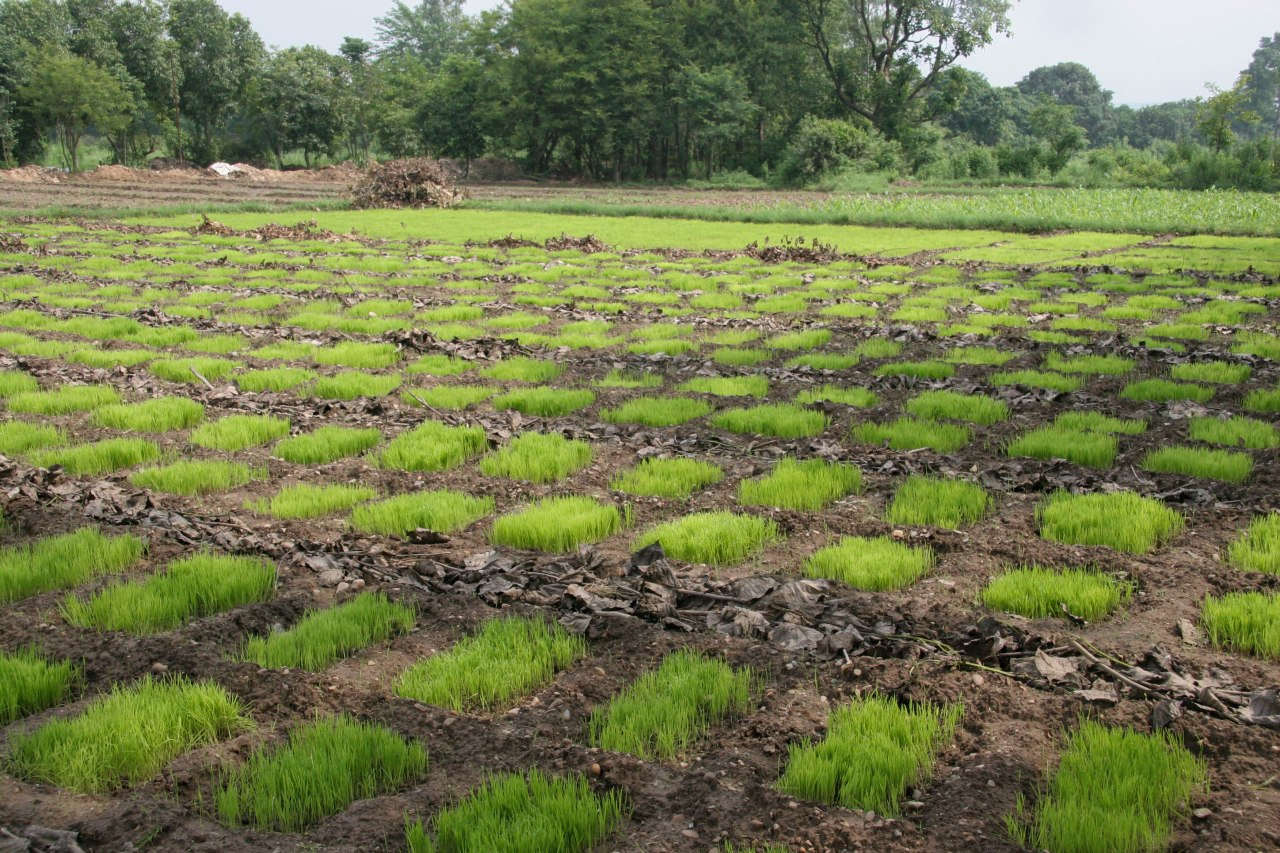 Trial paddies for rice varieties