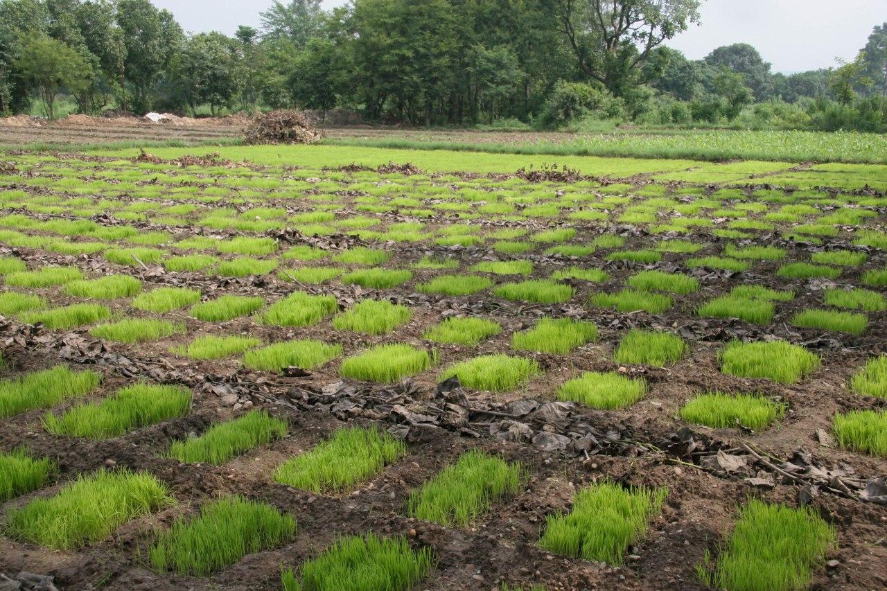 Trial paddies for rice varieties
