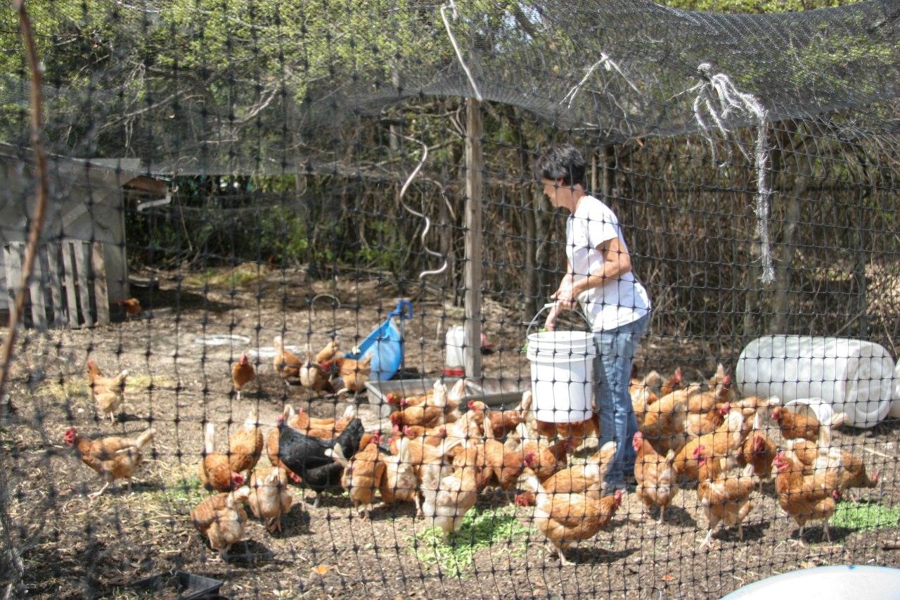 cityroots chickens