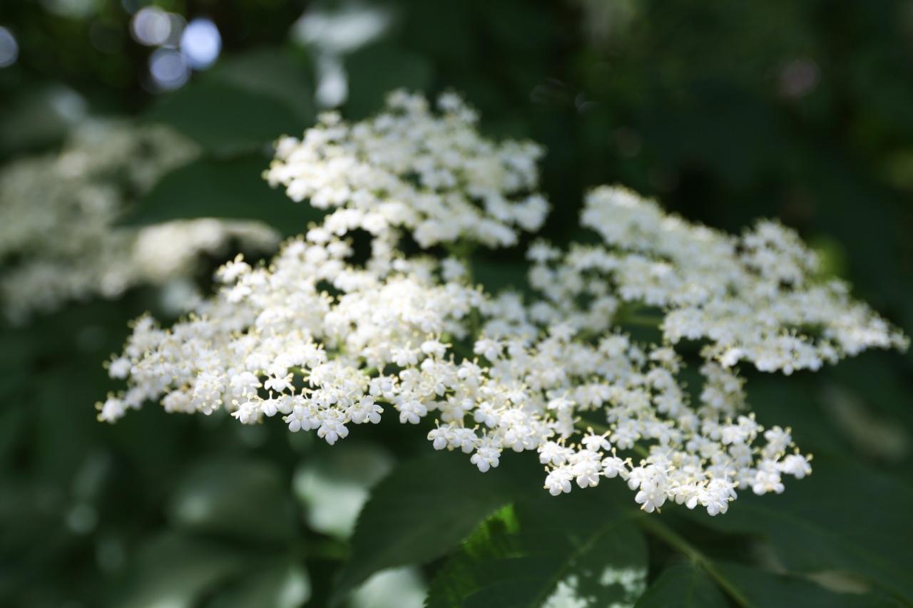 elderflower